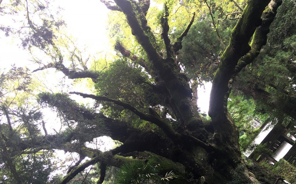籾山八幡社「直入物部神社」の神木、カメラに収まりません。