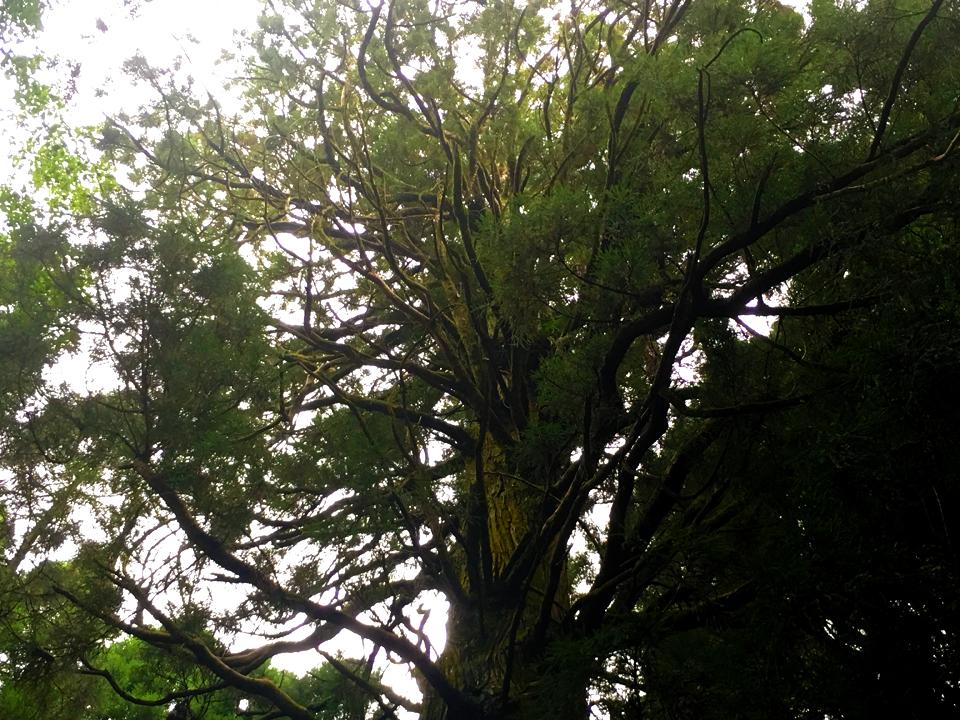 籾山八幡社「直入物部神社」の巨木の並木